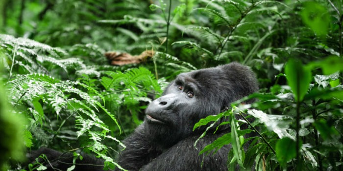 uganda wildlife gorilla silverback