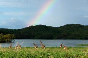 Pferdesafari Arusha Park Giraffen