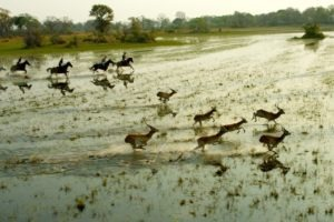 Cover picture gallop with antelopes