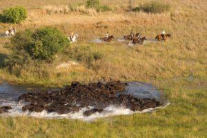 Okavango Delta Buffalo