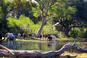 Okavango Delta Horses