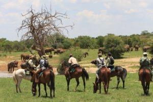 Ride Zimbabwe big cow herds1