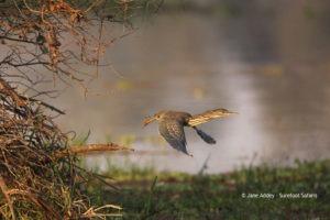 Surefoot Safaris Green Backed Heron