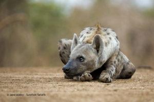 Surefoot Safaris Hyena