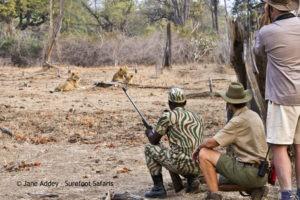 Surefoot Safaris Walking with Lions