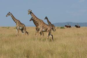 Horse Safari A tower fo giraffe