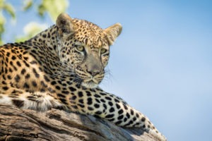Pangolin Photo Safaris – BiF 09 800x600