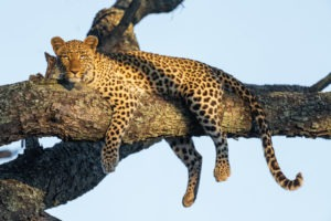 leopard botswana moremi photography frank