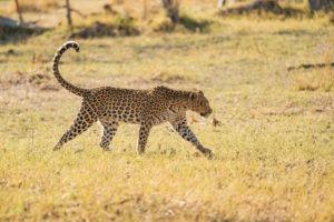 leopard moremi botswana tail golden