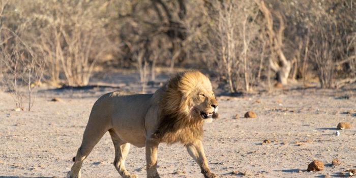 lion savuti botswana photo safari male mane
