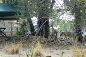 2 Animals in camp 6 1