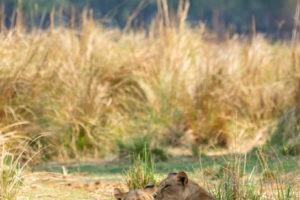 tusk and mane lower zambezi lioness