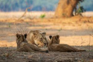 tusk and mane lower zambezi lioness cubs