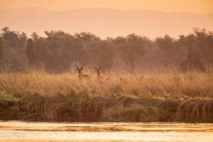 tusk and mane lower zambezi waterbuck
