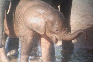 one of the baby elephants at Dzanga Bai