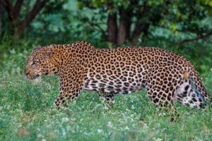 leopard big five corporate