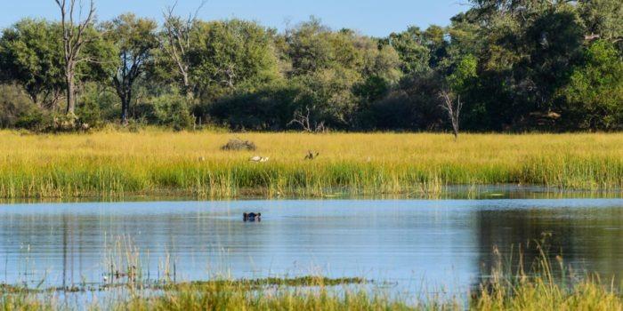 Botswana Kwapa Camp hippo
