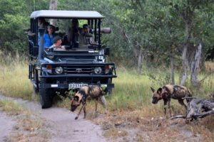 Botswana Mobile safari game drive wilddogs