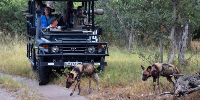 Botswana Mobile safari game drive wilddogs