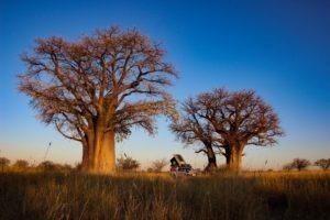 Botswana self drive safari baobab campsite