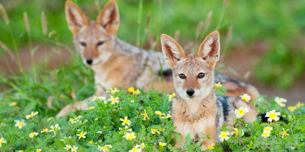 ET Black Backed Jackals 1 of 1