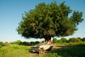 ET Mashatu tree 1 of 1