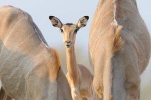 botswana mashatu photo safari impala