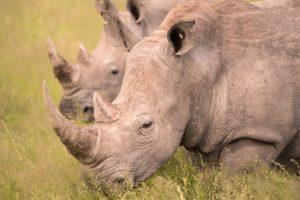 botswana rhino photo safari