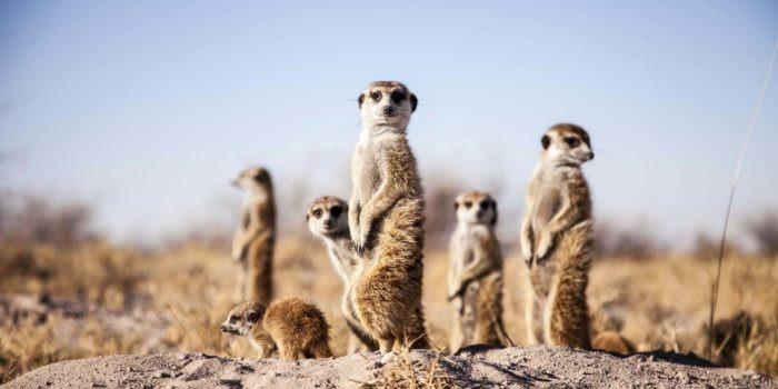 camp kalahari meerkats