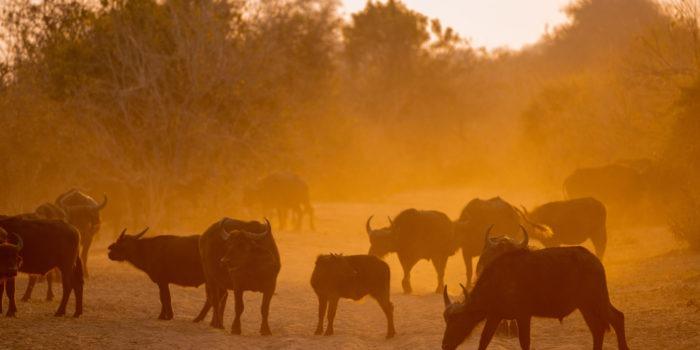 chobe buffaloes at sunrise