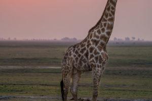 chobe giraffe sunset
