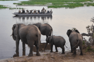 houseboat photographic safari chobe river herd of elephants at riv