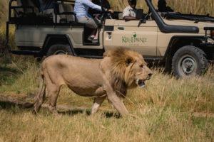 kanana kerdowney gamedrive lion
