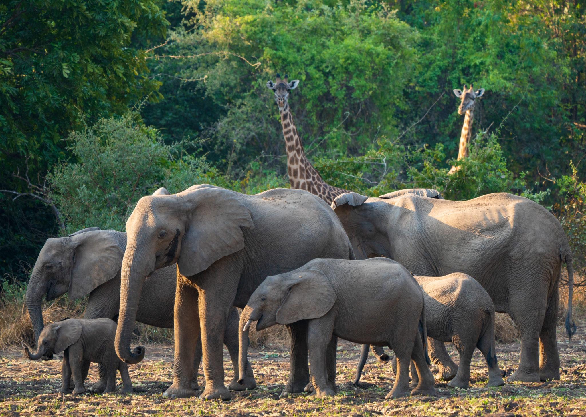 luangwa valley zambia gesa frank safari guides