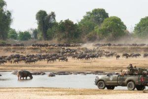 mwamba luangwa game drive buffalo