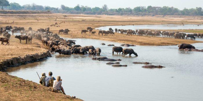 mwamba luangwa walking safari buffalo