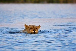 selinda explorers camp lion
