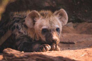 South Africa Hyena