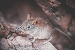South Africa Mouse