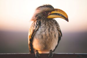 South Africa Hornbill Sunset