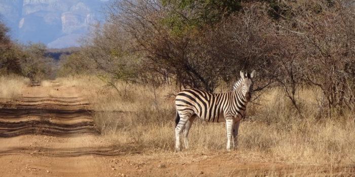 Blog Saskia Zebra