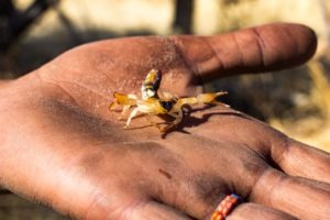 Botswana Bushmen Scorpion