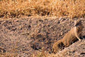 Central Kalahari Botswana Mongoose