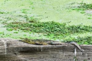 South-Luangwa-Croc