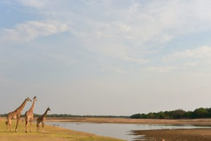 South-Luangwa-Giraffes