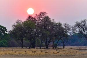 South-Luangwa-Sunset-Impalas