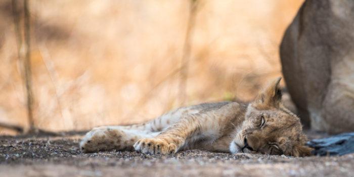 South-Luangwa-Lion-Cub