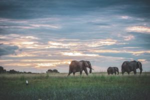 Elepahnts Botswana