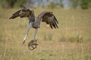 Makuleke Kruger National Park Eagle Catch