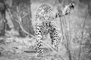 Makuleke Kruger National Park Safari Leopard Fight